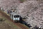 三江線沿線の桜