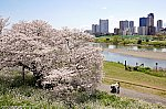 多摩川の一本桜