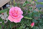 rose2020_01.jpg
