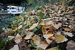 2020.12.6 採銅所の大イチョウ 落ち葉 横