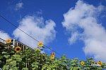 E257系500番台わかしお1号、菜の花を見下ろす高架を行く