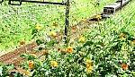 1168-1 高尾線の秋 キバマコスモス 2021.9.20.jpg