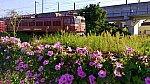貨物列車とホシアサガオ