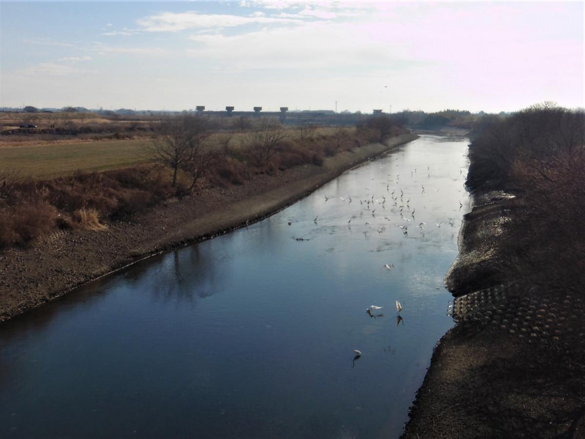 渡良瀬川と並ぶ矢場川では、白鳥の群れも見られました。渡良瀬川は写真左側になります。