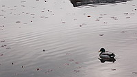 outdoor, bird, animal, aquatic bird, flock