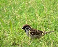 grass, outdoor, bird, animal, sparrow, field, green, tall, grassy