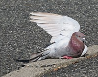 ground, bird, outdoor, animal, pigeon, gallinaceous bird, concrete, cement, curb