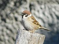 bird, animal, outdoor, wooden, perched, standing, sparrow, wood, wildlife, ledge