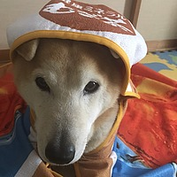 indoor, dog, hat, wearing, animal, carnivore, puppy, fashion accessory