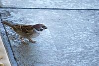 bird, animal, outdoor, oscine, sparrow, cement